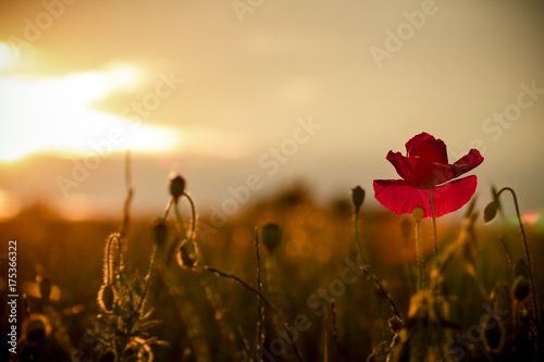 single poppy on red tuned background Poster