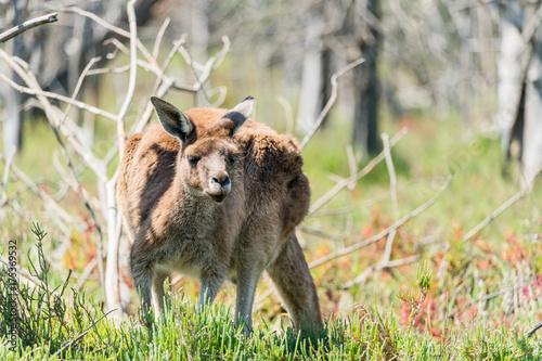 Aluminium Kangoeroe Female Kangaroo on Heirisson Island in Perth, Western Australia.