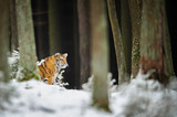 Tiger in winter forest - 175375108