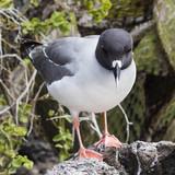 Swallow Tail Gull - Bartolome Island, Galapagos, Ecuador - 175381143