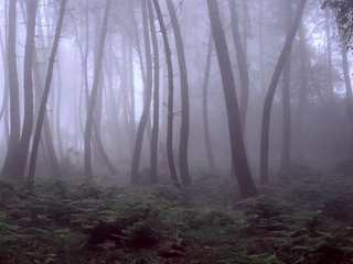 Beautiful foggy woods