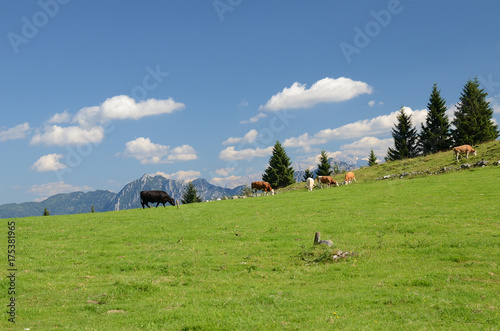Aluminium Pistache Skewbald cows in the mountains in Austria