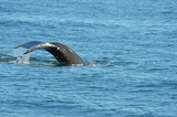 Humpback Whale diving - 175387984