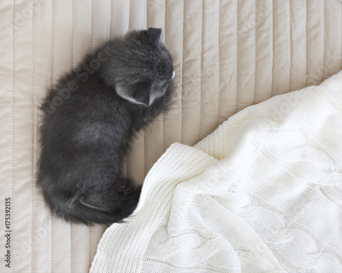 Aluminium Kat Grey purebred british kitten sleeps on blanket