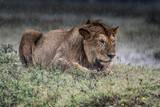 Lion(Panthera leo) - 175392704