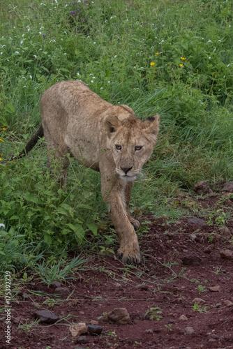 Aluminium Lion Lion(Panthera leo)