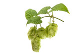 branch with cones hops isolated - 175395191