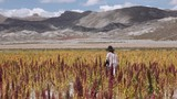 Female farmer walking through the quinoa fields wearing a poncho and a hat. - 175400172