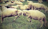 two sheep  clash headlong during the loving season - 175403511