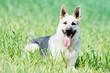 Quadro east european purebred shepherd dog in field