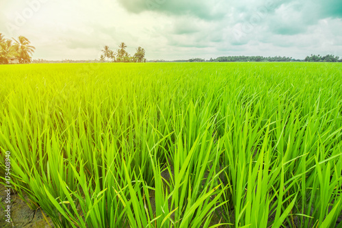 Keuken foto achterwand Lime groen Beautiful Rice Field and Cloudy Sky
