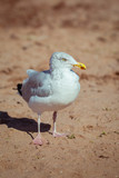 Adult Herring Seagull on Beach Searching for Food - 175412504