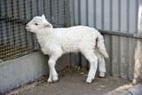 lamb - 175417367