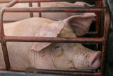 Pigs suffer in cages on the way to the slaughterhouse. Terribly sad eyes of the pig. Another proof of human cruelty. - 175417916