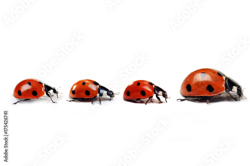 Mother ladybug with three kids