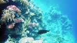 Tropical fish and colorful coral reef underwater shot. Undersea coral reef underwater nature wild life. - 175427303