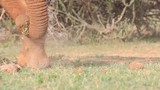 Elephant uses trunk and feet to pick up and eat grass - 175430324