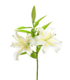 White lily isolated on white background - 175435720