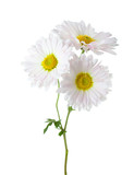 Branch with three flowers of  chrysanthemums isolated on white background. - 175435792