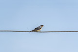 swallow on a wire against blue sky - 175441746