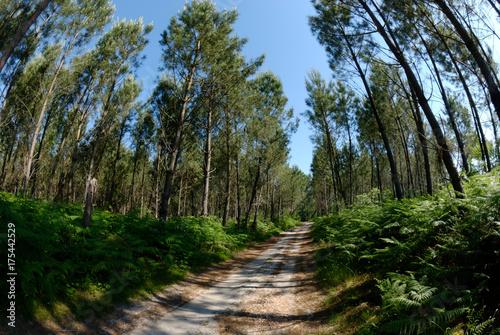 Keuken foto achterwand Weg in bos Forêt des Landes, Nouvelle-Aquitiane, Landes, France