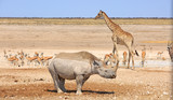 Close up of a Black Rhino at a waterhole with Giraffe and springbok in bright sunlight - 175442785