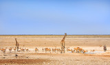 panorama of Etosha with giraffes amongst a large herd of springbok and Gemsbok Oryx, Namibia - 175442973