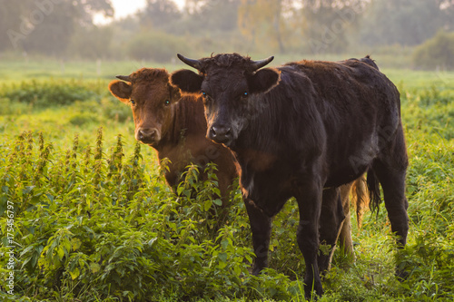 young bulls in the morning light on the pasture