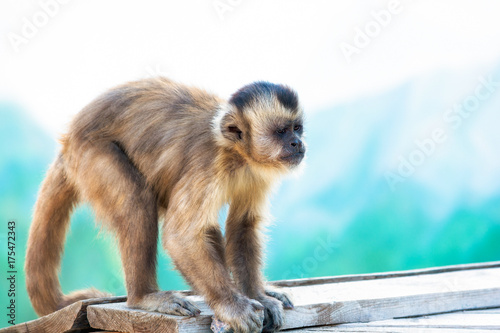 Fotobehang Aap Capuchin monkey looks into the distance. Wild nature.