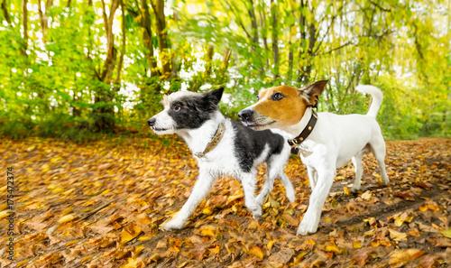 Papiers peints Chien de Crazy dogs running or walking in autumn