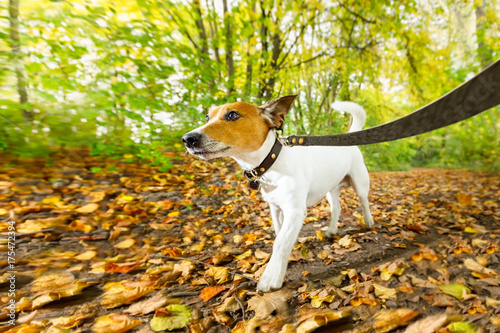 Keuken foto achterwand Crazy dog dog running or walking in autumn