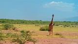 Smooth, sweeping cinematic camera shot of an adult male giraffe on a bright, hot, sunny day in picturesque, colorful  plains of African savanna of Lake Manyara national park in Tanzania, Africa. - 175478709