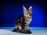 Cat Maine Coon - 175480717