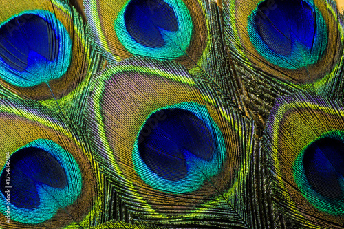 Plexiglas Pauw Luminous Peacock Feathers. This is a macro photo of an arrangement of colorful and vibrant peacock feathers.