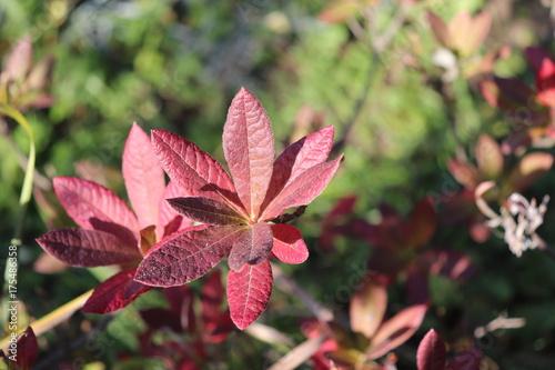 Fotobehang Azalea Colorful leaves azalea in the flower garden in autumn.