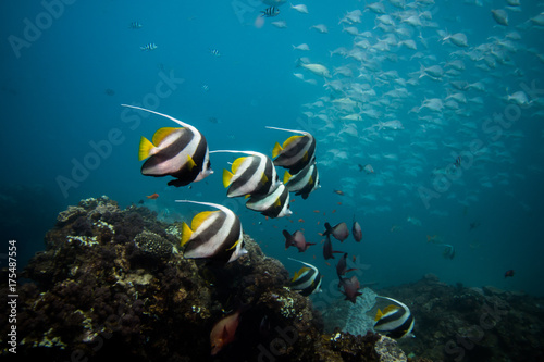 Coachman / Longfin Bannerfish swimming together over the reef with blue water and a school of fish in the background Poster