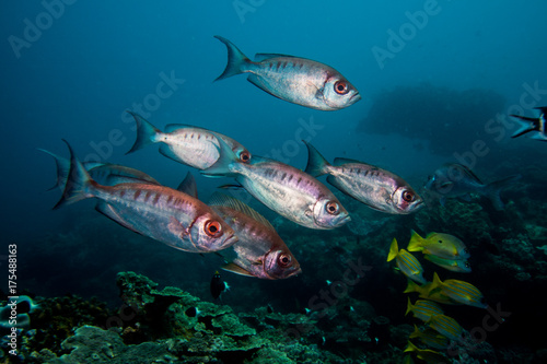 Crescent-tail Bigeye fish swimming together over the reef. Poster