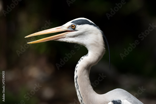 White heron close-up Poster