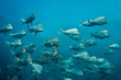 School of Slinger fish swimming together with blue water background. Rounded plain silver color fish.
