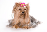 Yorkshire terrier dog with bow (isolated on white) - 175490937