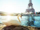 white swan and Eiffel tower, Paris. France - 175504384