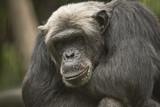 Old Chimpanzee, closeup