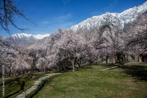 Blossom in Pakistan