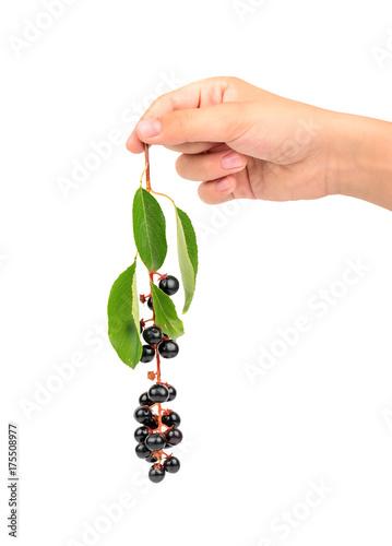 Fotobehang Kersen Branch of fresh bird cherry in the hand on white background