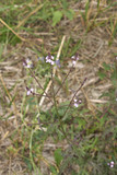 Verbena officinalis - 175513522