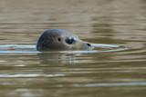 Harbour Seal (Phoca vitulina)/Harbour Seal swimming in dark sea - 175514127