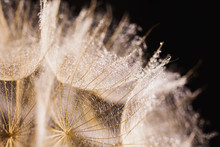 Abstract macro photo of a dandelion with water drops on a black background. Rain drops on a spider web.