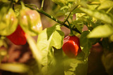 Ripe red habanero peppers on branches in the garden, close up view  - 175522193