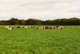 Auch Kühe brauchen einen Mittagsschlaf - 175522744