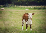 Young cow standing close to  Lacock village, Wiltshire, England, UK - 175524117